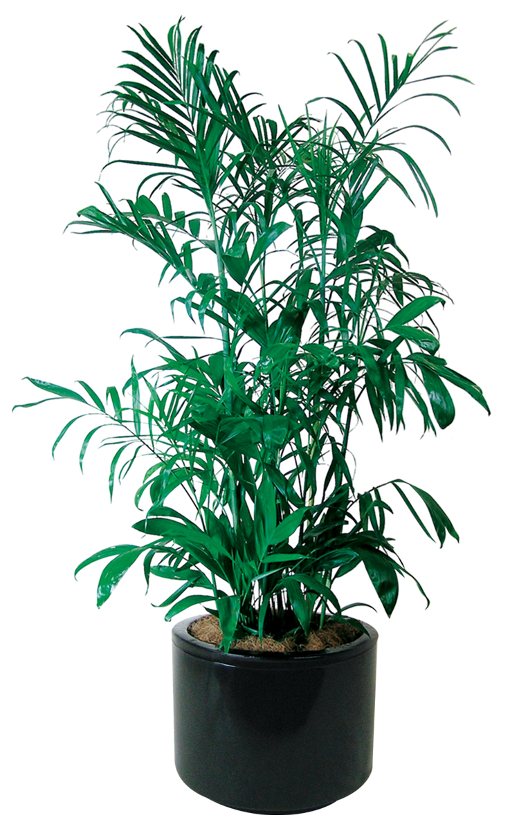 Indoor Plants - Floor Plants | Gaddys Indoor Plant Hire