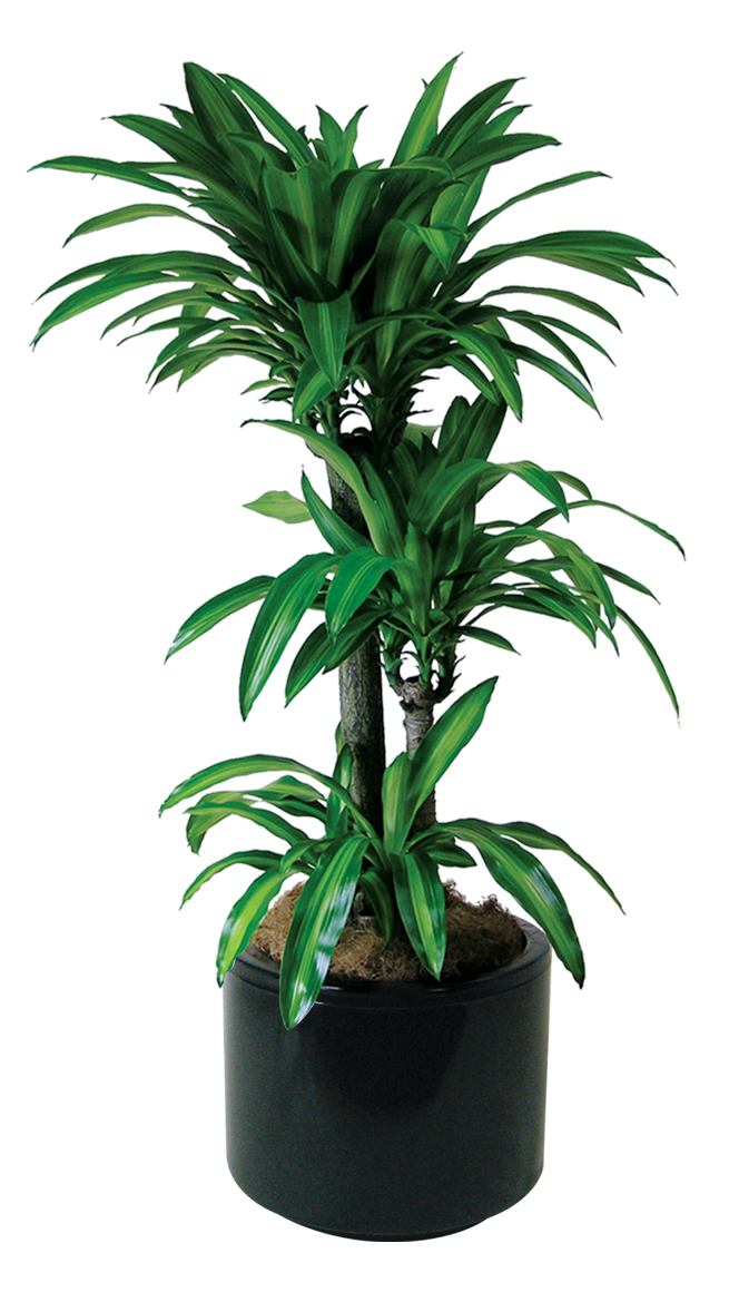 Indoor plants floor plants gaddys indoor plant hire for Plante dracaena