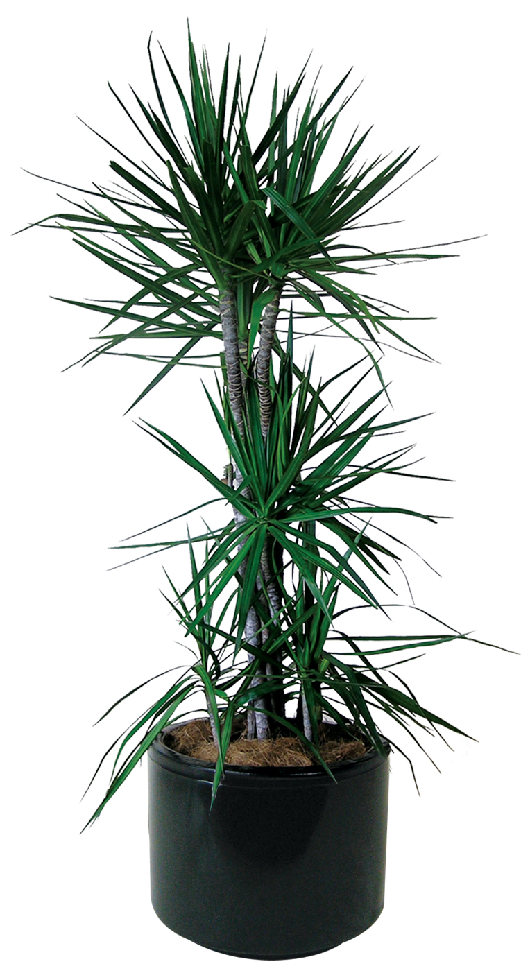 Indoor Plants Floor Plants Gaddys Indoor Plant Hire