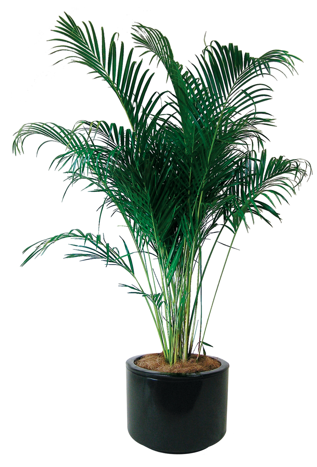 Indoor plants floor plants gaddys indoor plant hire - Indoor trees plants ...