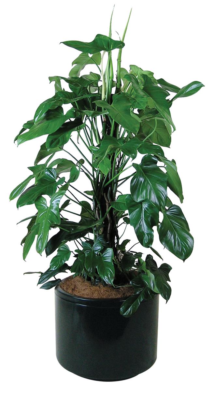 Indoor Plants - Floor Plants | Gaddys Indoor Plant Hire