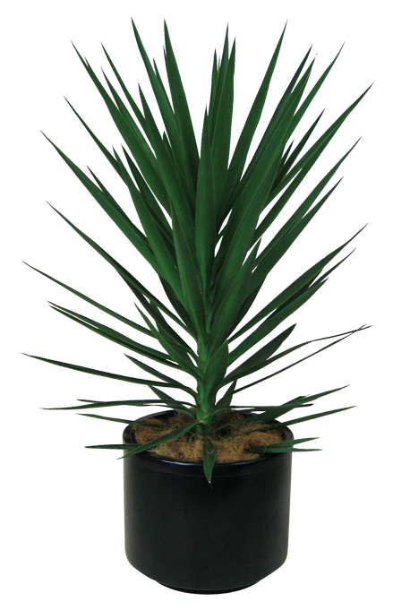 Yucca Plant Indoor Indoor Yucca Plant